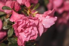 Blüht Azaleen in den Wassertröpfchen Stockfotos