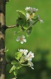 Blüht Birnennahaufnahme, selektiven Fokus Stockbild