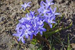 Blüht Blau im Frühjahr Stockfoto