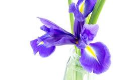 Blüht blaue purpurrote Iris mit Blättern, lokalisierte der Glasvase Lizenzfreies Stockbild