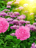 Blüht Dahlien lizenzfreies stockfoto