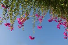 Blüht das Bouganvilla, das am grünen branche hängt Lizenzfreie Stockfotos