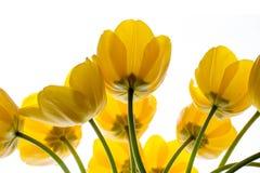 Blüht den gelben Blumenstrauß der Tulpen, der auf Weiß lokalisiert wird Lizenzfreies Stockfoto