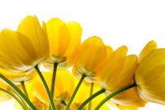 Blüht den gelben Blumenstrauß der Tulpen, der auf Weiß lokalisiert wird Stockfotografie