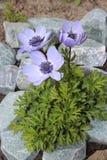 Blüht die Anemone, die im Garten blüht Lizenzfreie Stockfotografie