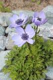 Blüht die Anemone, die im Garten blüht Stockbilder
