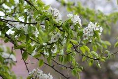Blüht die Birne im Garten Stockbilder