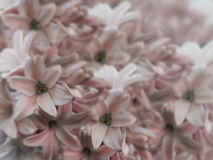 Blüht die Hyazinthen, die auf undeutlichem Hintergrund hellrot sind leicht-rosa-roter Blumenstrauß von Blumen Blumencollage Tulpe Stockfotos