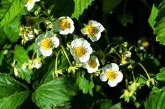 Blüht Erdbeeren in einem Garten Lizenzfreie Stockbilder