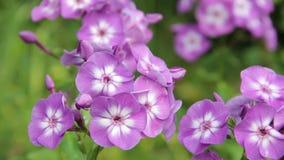 Blüht Flammenblume im Garten stock video
