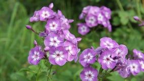Blüht Flammenblume im Garten stock footage