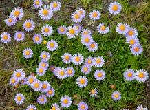 Blüht Gebirgsastern Stockbild