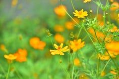 Blüht gelb-orangee schöne Blüte in der Natur Stockbild