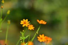 Blüht gelb-orangee schöne Blüte in der Natur Stockfoto