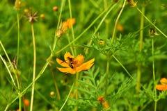Blüht gelb-orangee schöne Blüte in der Natur Stockfotografie