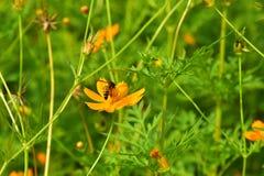 Blüht gelb-orangee schöne Blüte in der Natur Stockbilder