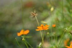 Blüht gelb-orangee schöne Blüte in der Natur Lizenzfreie Stockbilder