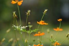 Blüht gelb-orangee schöne Blüte in der Natur Lizenzfreie Stockfotos