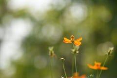 Blüht gelb-orangee schöne Blüte in der Natur Stockfotos
