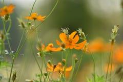 Blüht gelb-orangee schöne Blüte in der Natur Lizenzfreie Stockfotografie