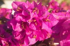 Blüht Hibiscus im Garten Stockfoto