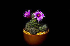 Blüht Kaktus stockfoto
