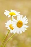 Blüht Kamille gegen unscharfen gelben Hintergrund lizenzfreies stockbild