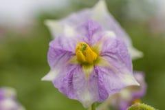 Blüht Kartoffeln Stockfotografie