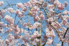 Blüht Kirschblüte-Feder Lizenzfreie Stockbilder