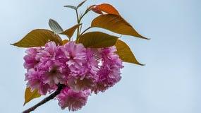 Blüht Kirschblüte-Frühlingsrosablüten stockbild