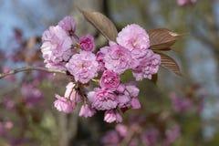 Blüht Kirschblüte-Frühlingsrosablüten lizenzfreies stockbild