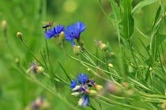 Blüht Kornblumen Stockbilder