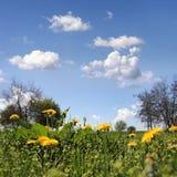 Blüht Löwenzahn stockfoto