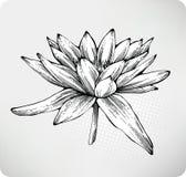Blüht Lilien-Handzeichnung des weißen Wassers Lizenzfreie Stockbilder