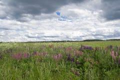 Blüht Lupinen Lizenzfreies Stockbild