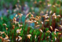 Blüht Moos Lizenzfreie Stockfotos