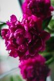 Blüht Pfingstrosen Stockfoto