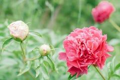 Blüht Pfingstrosen gegen unscharfen grünen Hintergrund Stockbilder