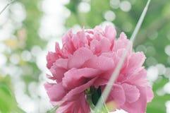 Blüht Pfingstrosen gegen unscharfen grünen Hintergrund Stockfotografie