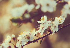 Blüht Pflaumen Stockfotos