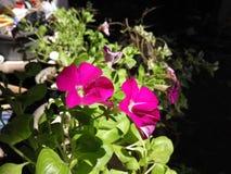 Blüht Purpur Stockbild