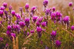 Blüht purpurrote Feldnatur der Lavendelblume Farbe stockbilder