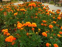 Blüht Ringelblumen Lizenzfreies Stockbild