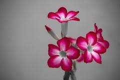 Blüht rosa Schwarzweiss-Art Stimmung Adenium Stockfotos