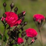 Blüht Rosen im Garten. Lizenzfreie Stockfotos