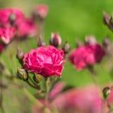 Blüht Rosen im Garten. Stockbild