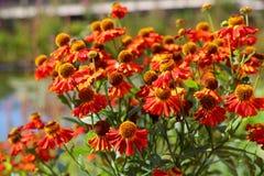 Blüht Rudbeckia Stockfotos