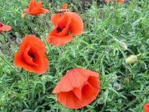 Blüht schönes Scharlachrot der Mohnblume drei mit Tropfen des Taus auf Blumenblattnahaufnahme Lizenzfreie Stockfotos
