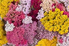 Blüht Schafgarbe Stockfoto