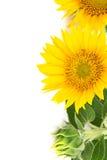 Blüht Sonnenblumen Stockfotografie